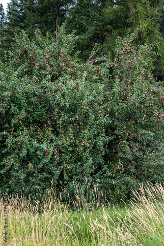 Overgrown fully loaded apple tree in overgrown lawn, delicious ripe apples Canvas Print