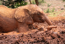 Baby Elephant Rolling In Red C...