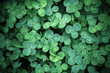 Leaf clover backgrounds ,walpapper, a clover leaf with four leaflets, rather than the typical three, thought to bring good luck
