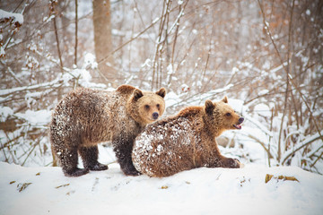bear cubs playing in snow