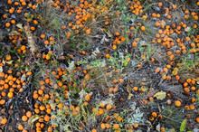 Apricots Falling From A Tree A...