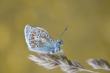 A Beautiful Butterfly Common Blue