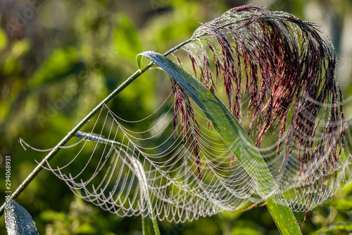 sieć pająka na łące rosa