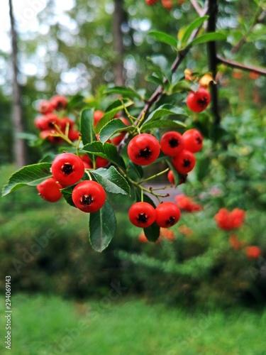 Photo Scarlet firethorn