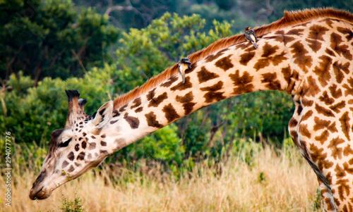 Grazing Masai or Kilimanjaro Giraffe - Scientific name: Giraffa tippilskirchi - Canvas Print