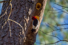 Redheaded Woodpecker At Its Nest