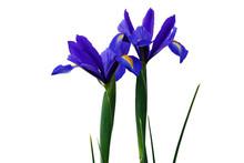 Blooming Blue Iris Flowers In ...