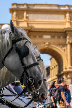 Two Horses In Florence At The ...