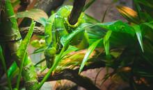 Green Boa/python Coiled Across...