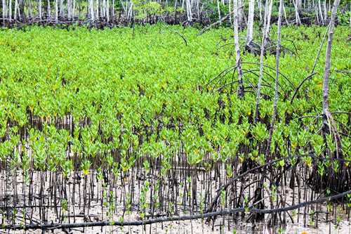 Young sprouts of mangrove trees in an area recently destroyed by a tsunami Wallpaper Mural