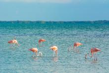 Wild Flamingo In The Caribbean Ocean Of Mexico