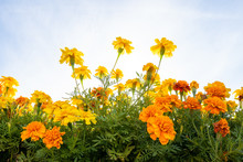 Yellow And Orange Marigolds Ag...