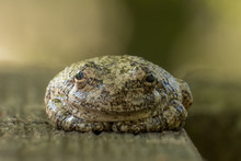 A Really Content Cope's Gray Tree Frog That Seems To Be In A Zen State Of Mind.