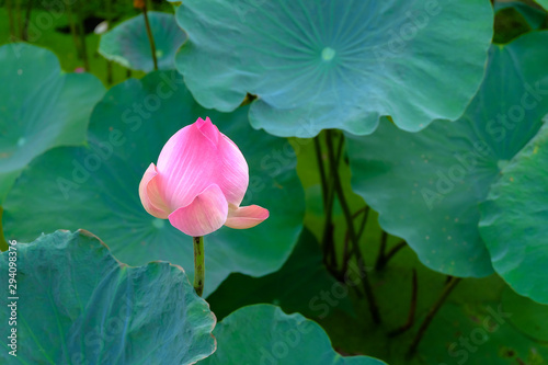 Pink lotus flower with soft selective focus and leaf blur background Poster Mural XXL