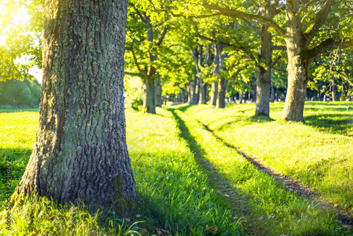 Foto auf Gartenposter Gelb Summer landscape. Alley of old oak trees on bright sunny day.