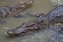 Crocodile In Southeast Asia
