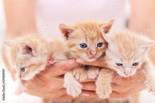 Fotomural  Woman hands hold a bunch of three adorable kitten
