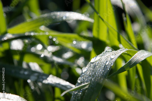 Obraz na plátně 朝露に濡れる葉と輝き