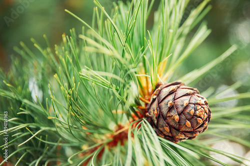 Obraz Green coniferous cedar ripe pine cones on tree branch forest sunlight - fototapety do salonu