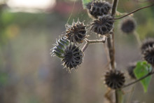 Dry Thorn Flower In Nature, Dr...