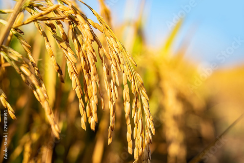 Golden yellow rice ear of rice growing in autumn paddy field Fototapeta