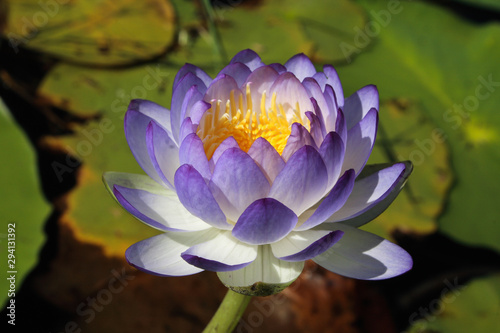 Fotografía Close-up of a native Australian water lily (Nymphaea violacea) in the wild