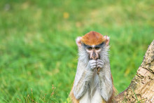 Portrait Of The Patas Monkey E...