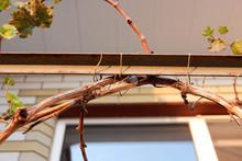 Brown Praying Mantis Makes An ...