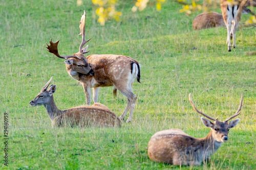 Young fawns in the countryside Canvas Print