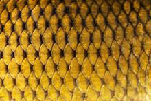 Big Wild Carp Fish Pattern Tex...
