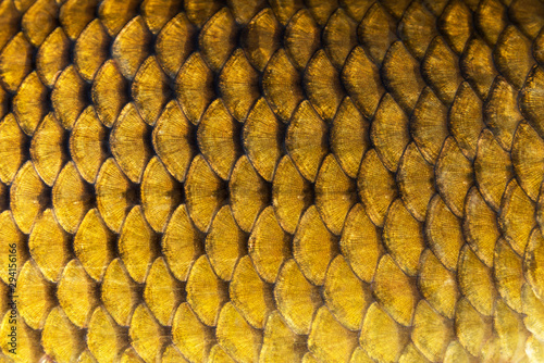 Garden Poster Macro photography Big wild carp fish pattern textured skin scales macro view.