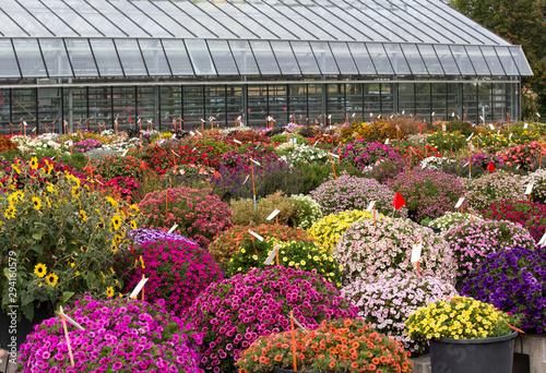 Chrysanthemums in nursery garden