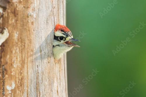 Foto downy woodpecker (Dryobates pubescens) at nest