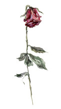 Dry Red Rose With Leaves Watercolor Illustration. Hand Drawn Dehydrated Dried Flower On The Stem. Red Dry Rose Single Image. Faded Flower. Isolated On White Background.