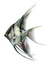 Angelfish Black And White Wate...