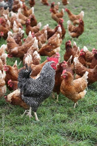 Hühner Fototapete