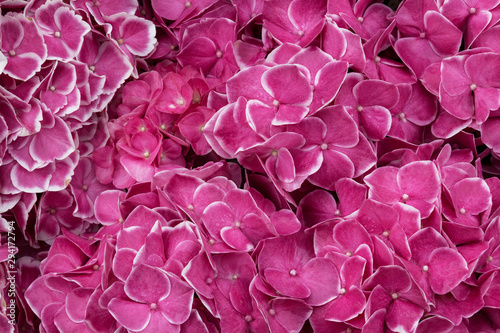 Stickers pour portes Rose Beautiful background of pink flowers of large-leaved hydrangea