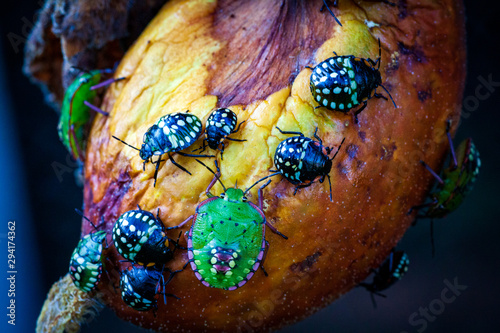 Nezara viridula Green beetle pest of gardens spoiling leaves and fruits of fruits vegetables tomato pepper. Polyphage. The bug reduces productivity, delays the development of plants. - 294174362