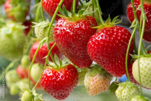 Cuadros en Lienzo Fresh tasty ripe  red and unripe green strawberries growing on strawberry farm