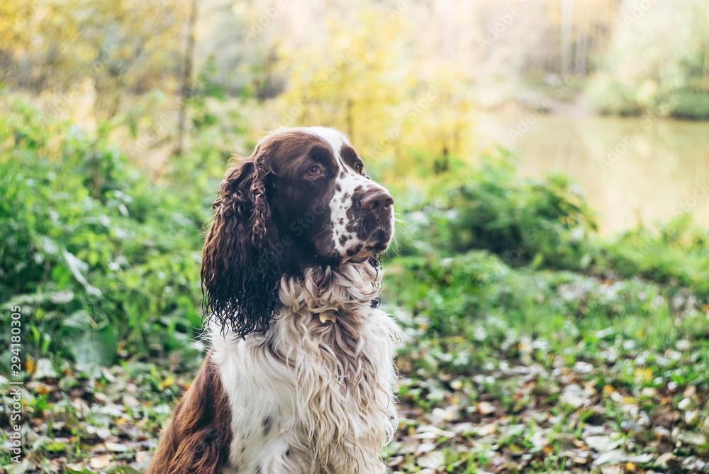 Fototapeta Dog bread English springer spaniel sits in autumn forest.