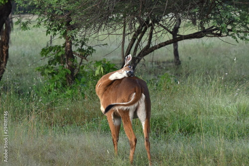 Photo Female Nilgai (Boselaphus tragocamelus) fade up of insects and scratching her bo