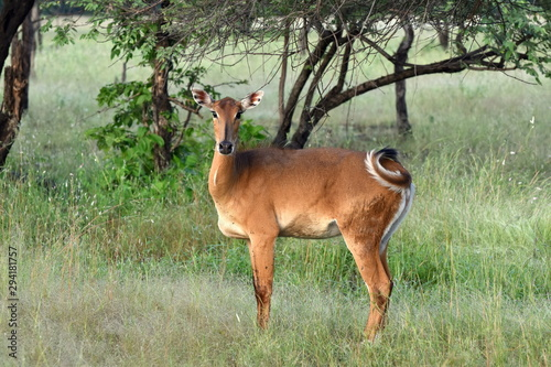 Leinwand Poster Female Nilgai (Boselaphus tragocamelus) standing lonely and wilderly in front of