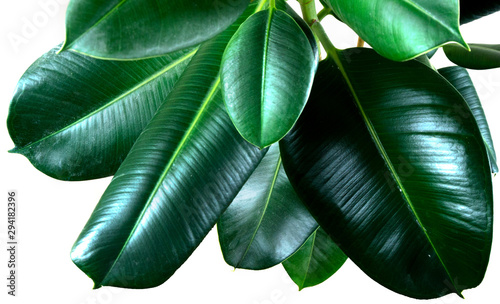 Fotomural  ficus elastica plant leafs with isolated white background