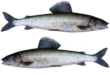 Arctic Grayling Fish Isolated ...