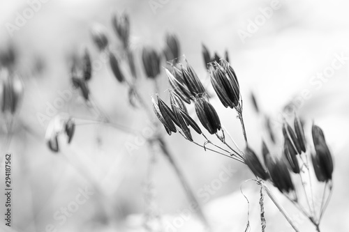 autumn faded dry plant with seeds - 294187562