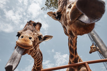 Two Huge Giraffes Sticking Out...