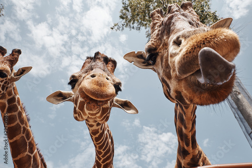 two huge giraffes sticking out their tongues Wallpaper Mural