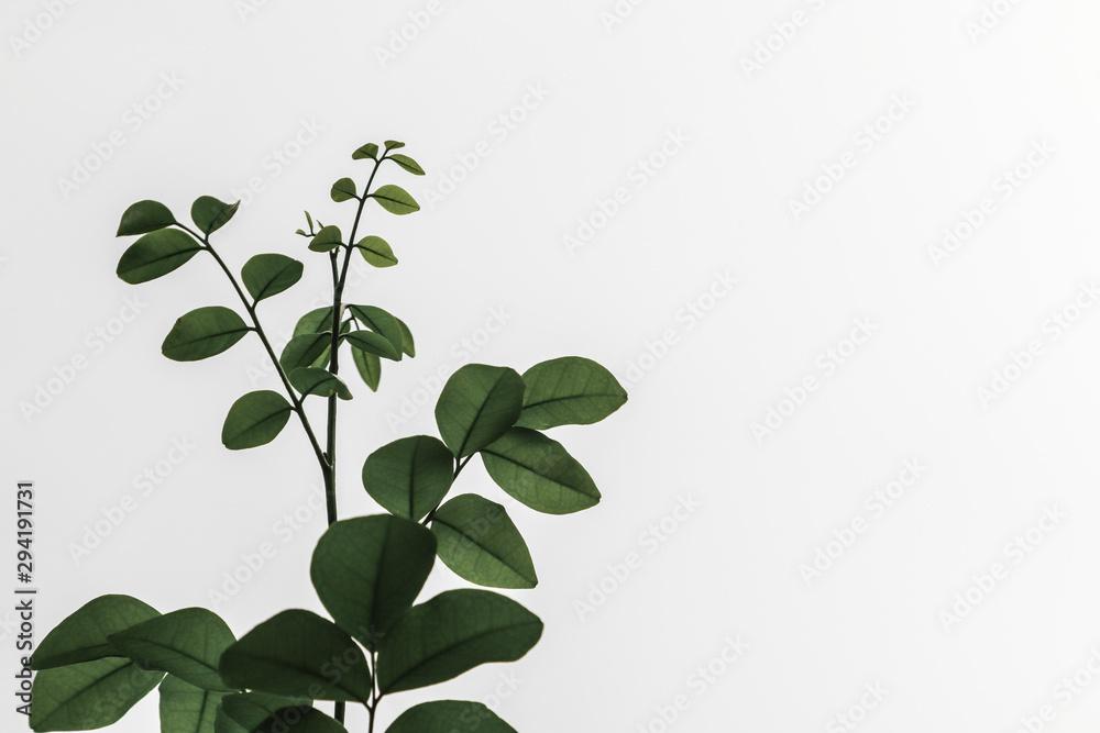 Fototapeta green plant isolated on white background