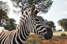 Close-up Of An Adult Zebra In Freedom By The African Savannah