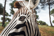 Close-up Of An Adult Zebra In ...